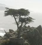 lonecypress
